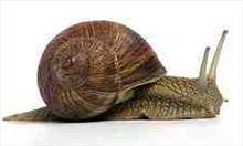 ślimak winniczek; zdjęcie z Wikipedii